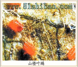 植保 图库/虫害/ 刺吸式害虫 山楂叶螨